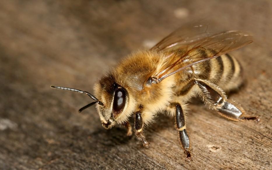 pčela - med