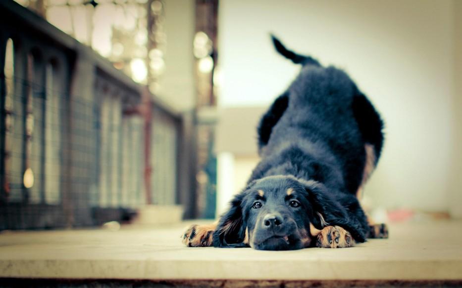 pas kućni ljubimci