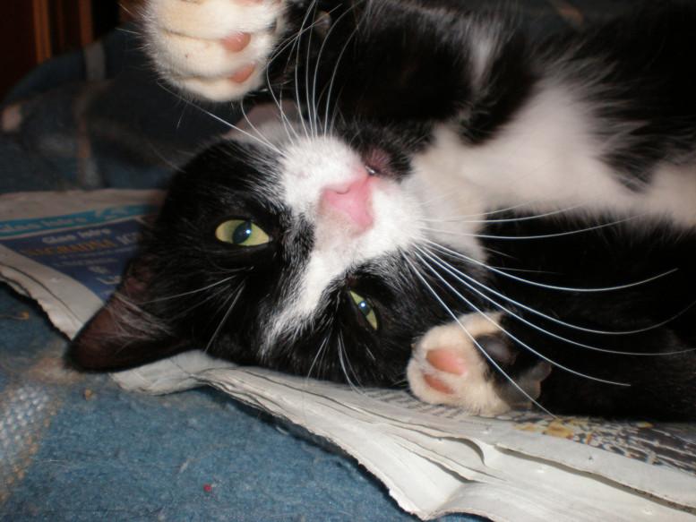 mačka - umiljata zvončica