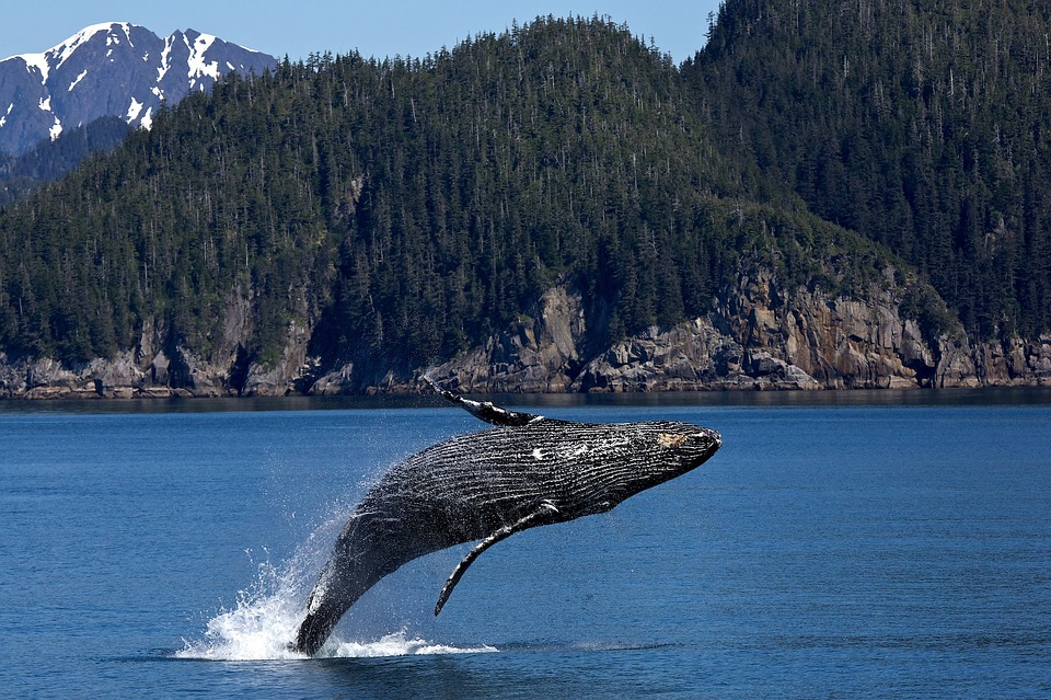 kitolov